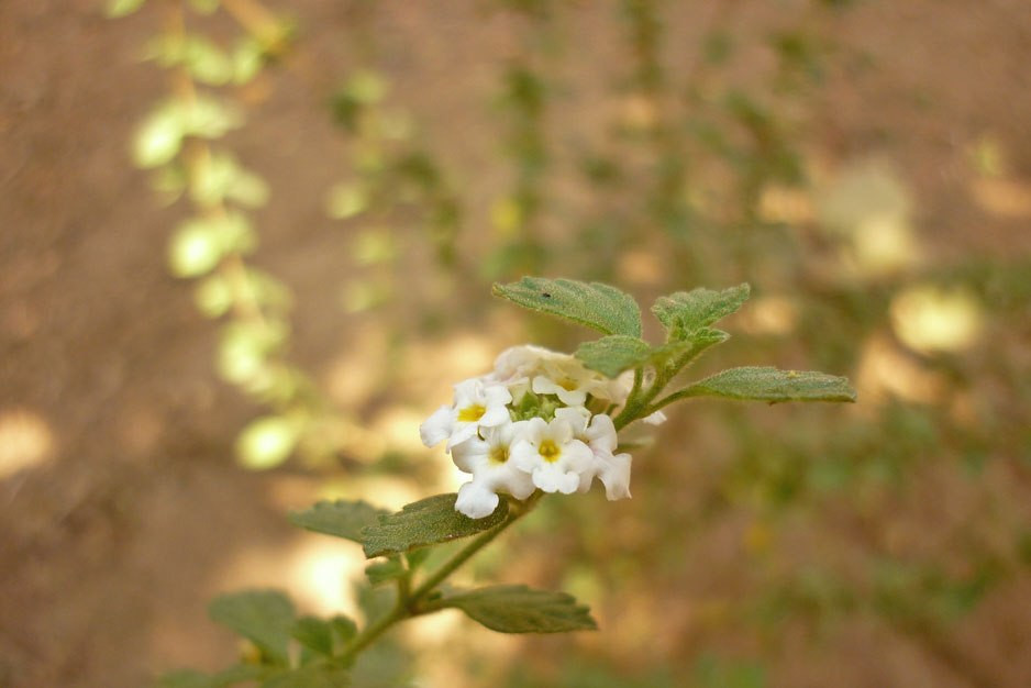 Wild oregano plant