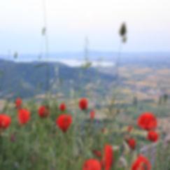 poppy field in authentic italian village cortona