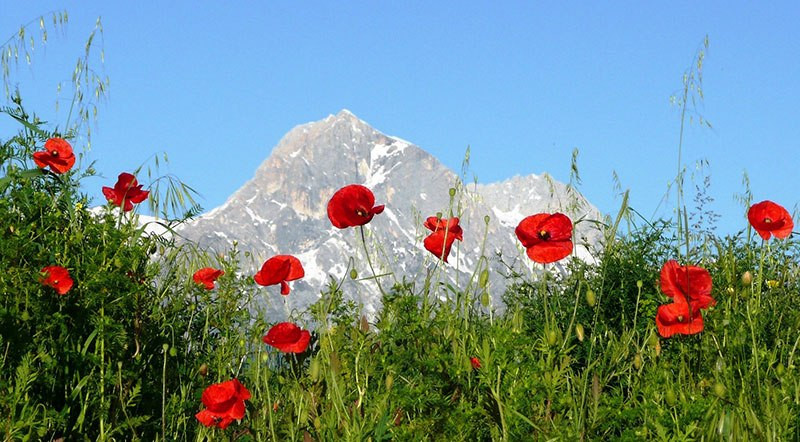 Red poppies in front of a tall rocky mountain in Abruzzo Italy