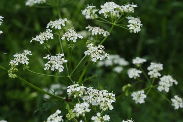 Wild anice plant