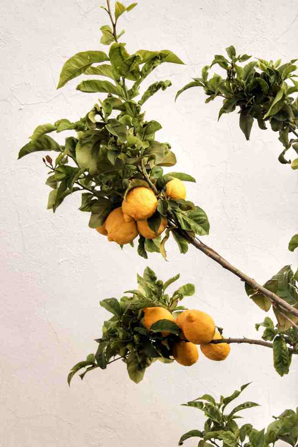 tree branch with large lemons in sicily