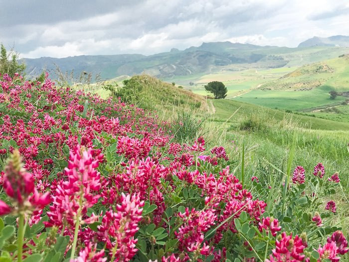 Beautiful wildflowers in the gorgeous landscape of central Sicily.
