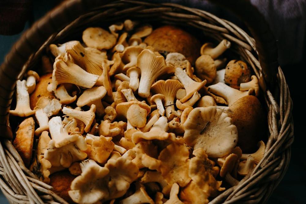 Basket of chanterelle mushrooms