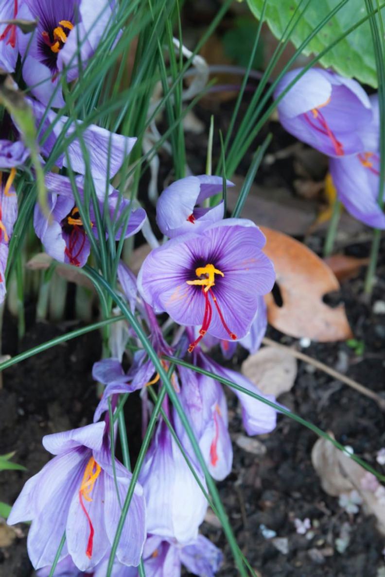Wild saffron plant
