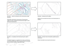 mitosis storyboard 2