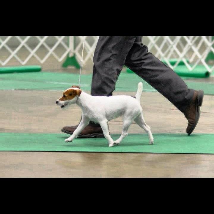 Parson Russell Terrier Shasta N Drea