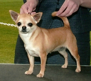 Chihuahua breeder in Tennessee | United States | Terlingua