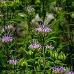 Monarda fistulosa–Beebalm–Lamiaceae–7-20