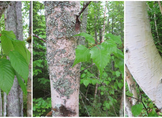 Trio of birch trees