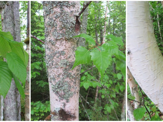 Trio of birch trees
