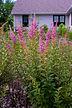 Spiraea tomentosa–Steeplebush–Rosaceae–7