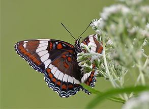 White Admiral on Eupatorium perfoliatum