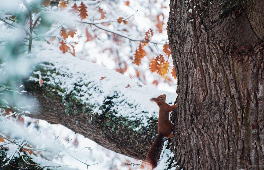 L'écureuil d'Eurasie ou écureuil roux