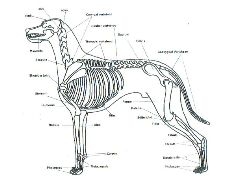 Skeletal Structure of a Great Dane.jpg