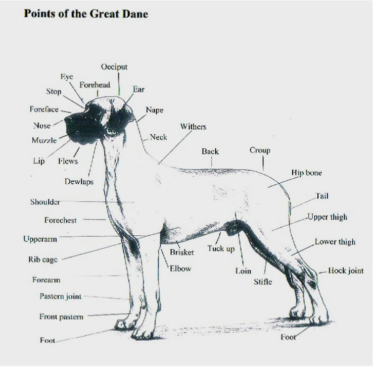 Points of a Great Dane.jpg