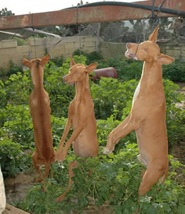 3 dead, hanging dogs.