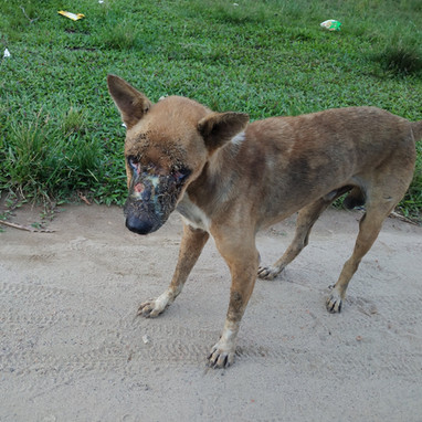 Dog with infected wounds on face.
