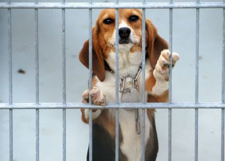Turning point for lab animals? Covid-19 could bring freedom ~600 Million Dogs