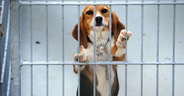 Animal testing lab Beagle Alex Pacheco 600 Million Dogs