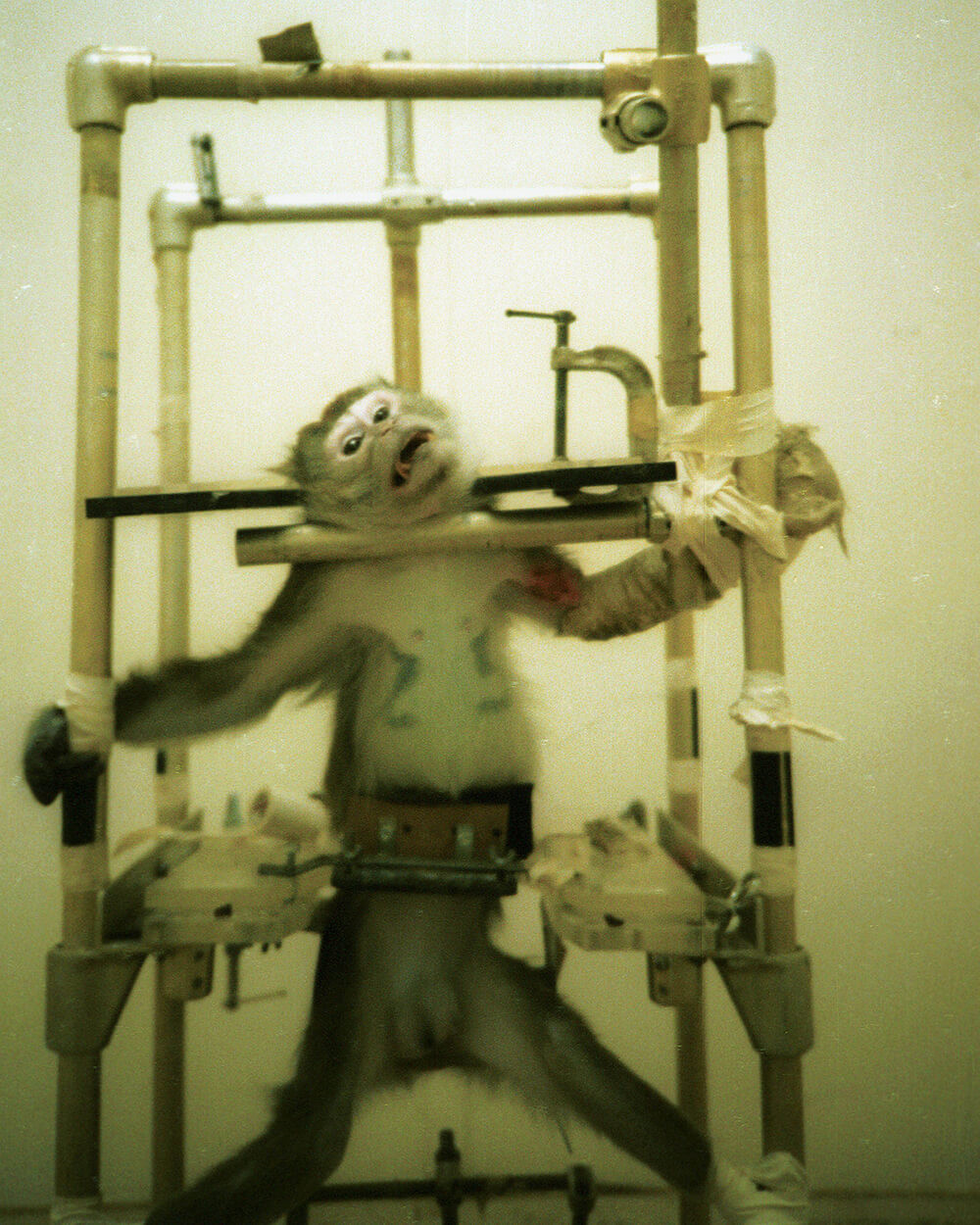 Silver Spring Monkey in restraint in lab ~ 600 Million Dogs Alex Pacheco