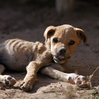 Graphic starving puppy
