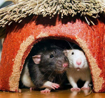 2 cute rats in hut ~ 600 Million Dogs Alex Pacheco