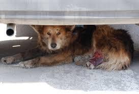 Injured stray dog under car Alex Pacheco 600 Million Dogs