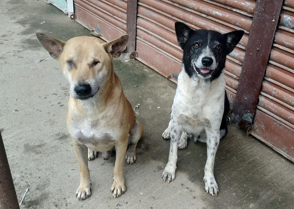 Stray dogs Bangladesh Alex Pacheco 600 Million Dogs