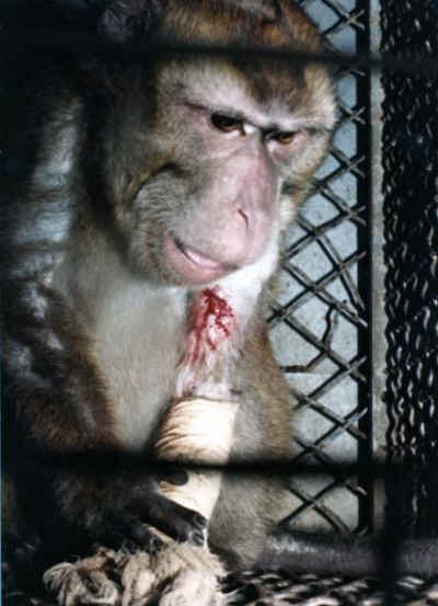 Silver Spring Monkey injured in cage ~ 600 Million Dogs Alex Pacheco
