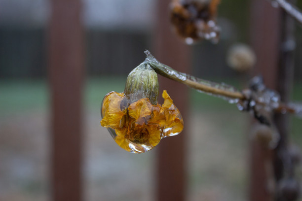 Frozen Flower