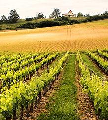 Wineyard near Cahors