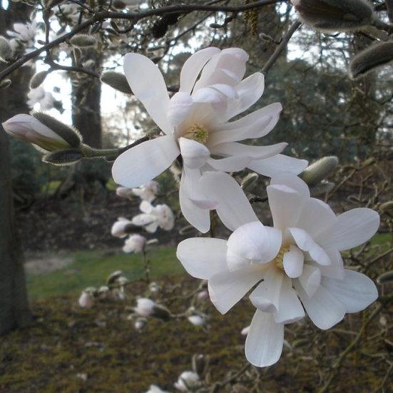 Magnolia stellata 'Waterlily' (Star magnolia)