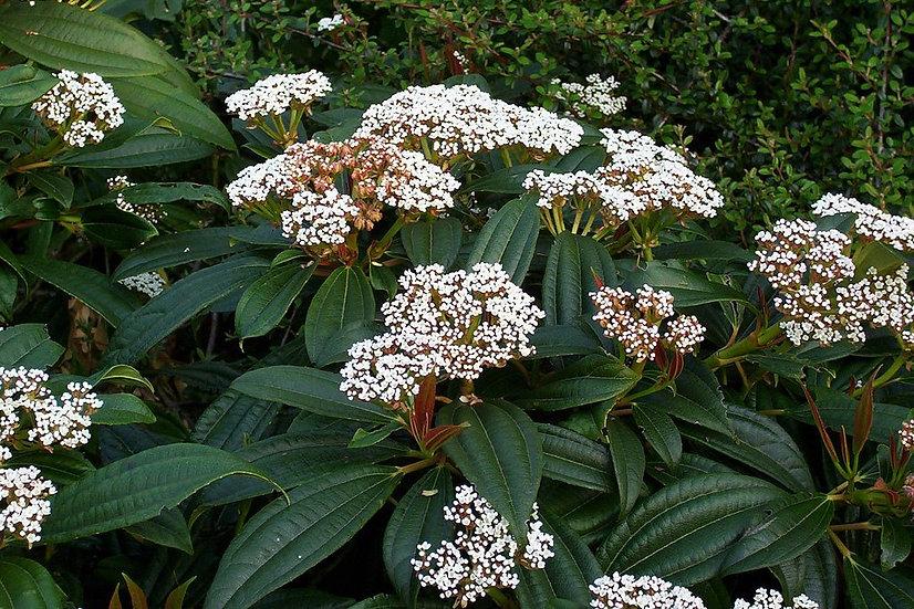 Viburnum davidii (David viburnum)