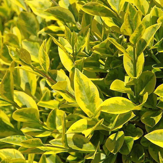 Ligustrum ovalifolium 'Aureum' (Golden privet)