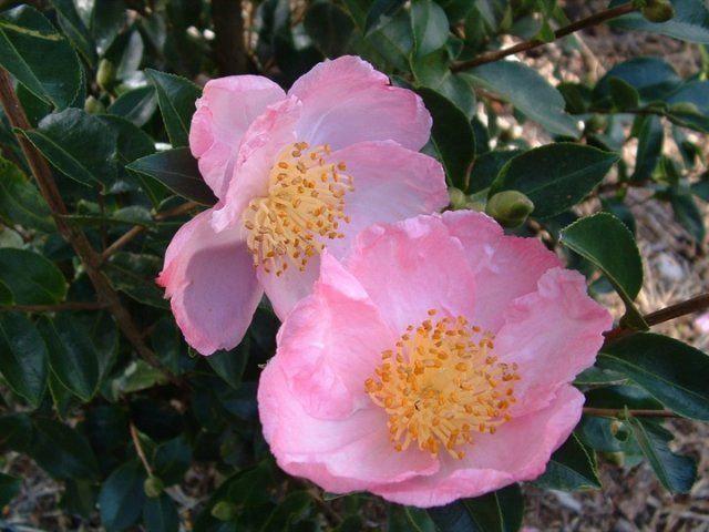Camellia sasanqua 'Plantation Pink' (Autumn camellia)