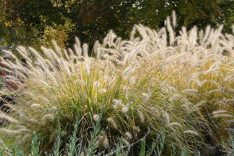Pennisetum alopecuroides (Chinese fountain grass)