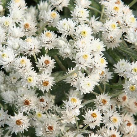 Anaphalis triplinervis 'Sommerschnee' (Pearl everlasting)