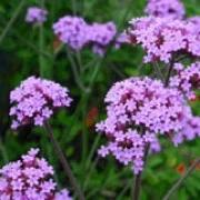 Verbena bonariensis (Purple top)