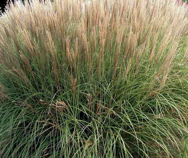 Miscanthus sinensis 'Silberspinne' (Eulalia)