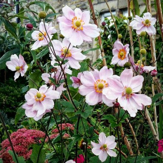 Anemone x hybrida 'Queen Charlotte' (Japanese anemone 'Queen Charlotte')