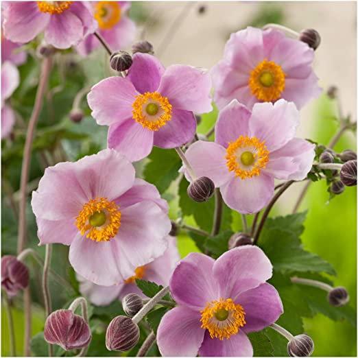 Anemone hupehensis 'September Charm' (Japanese anemone 'September Charm')