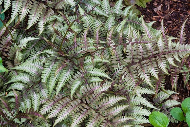 Athyrium niponicum var. pictum (Japanese painted fern)