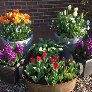 Pots of Spring Interest