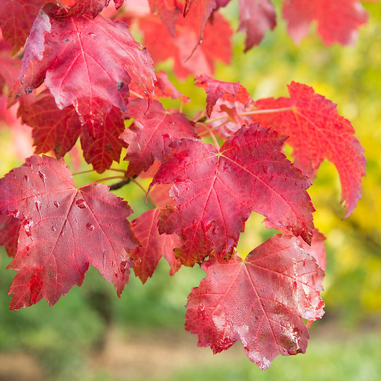 Acer rubrum 'October Glory' (Red maple)