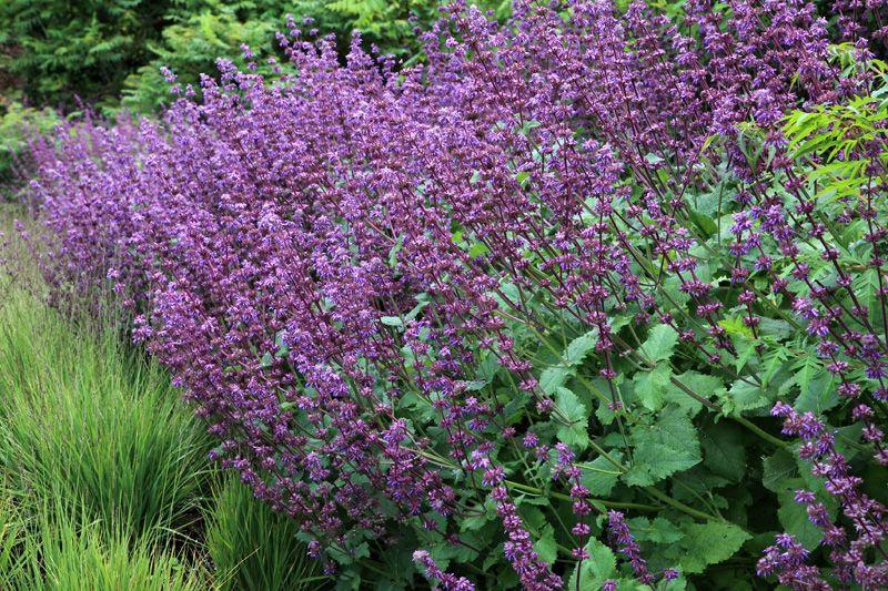 Salvia verticillata 'Purple Rain' (Whorled clary)