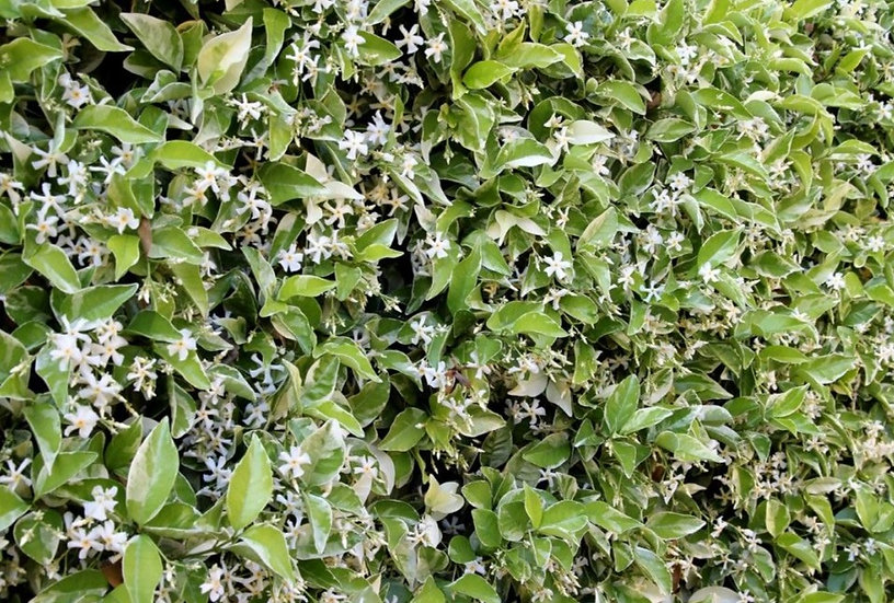Trachelospermum jasminoides 'Variegatum'(Variegated Confederate jasmine)