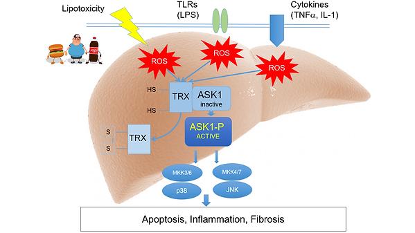 ASK1 mechanism.png