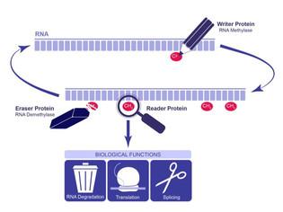 About RNA Methylation