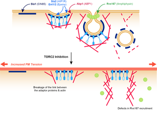 TORC2 affects endocytosis through Plasma Membrane tension