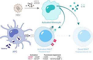 Chronic HDV infection leads to functional impairment and severe loss of MAIT cells